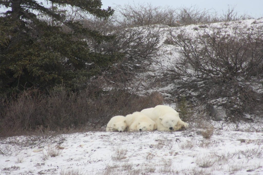 polar bear family churchill, Manitoba