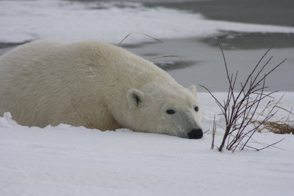 Churchill polar bear.