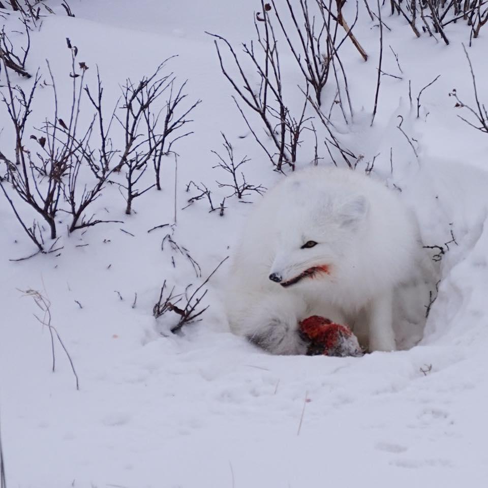 Arctic fox in Churchill