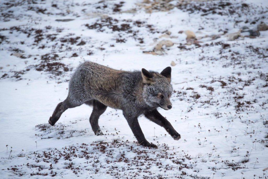 Cross fox Churchill