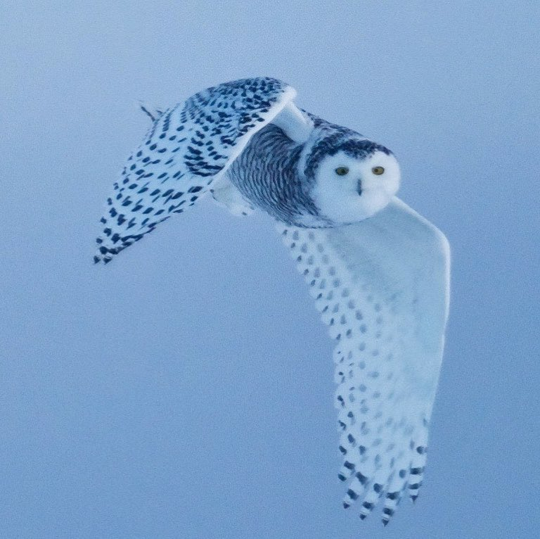 Snowy owl in Churchill.