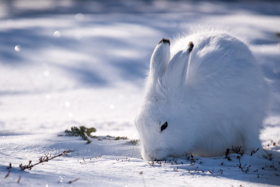 Arctic hare in Churchill