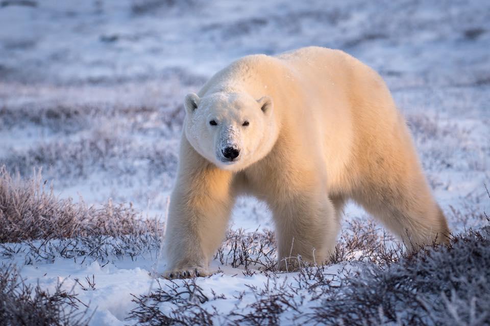 Churchill polar bear on the tundra.