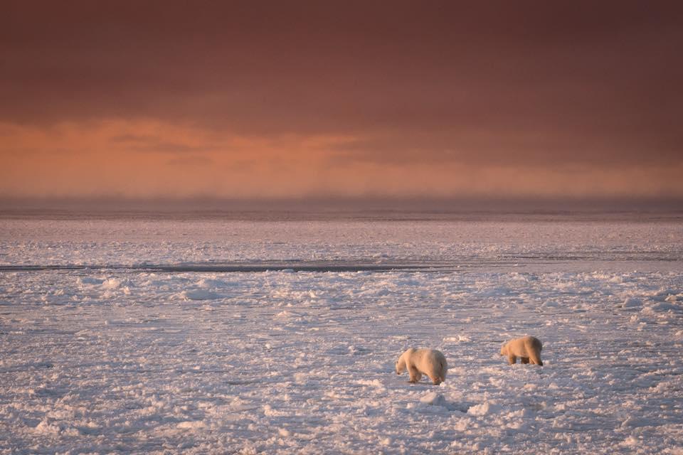 Churchill polar bears on the ice.