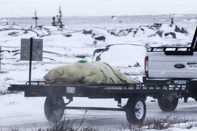 sedated polar bear in Churchill
