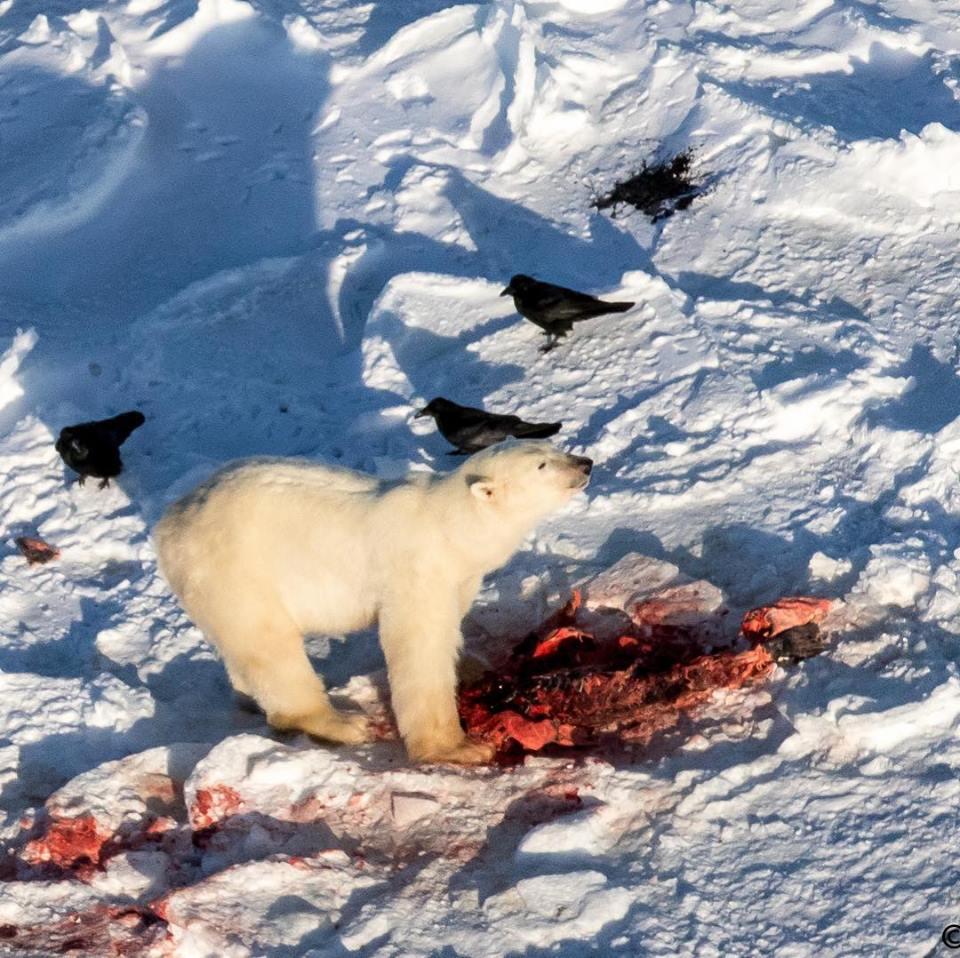 Polar bear in Churchill