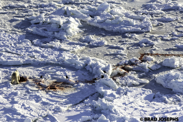 polar bear hunting seals on Hudson Bay ice