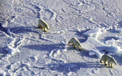 Nunatsiavut Wildlife Manager Optimistic on Polar Bears