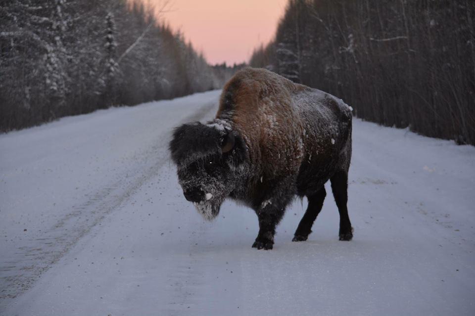 Buffalo road block Fort Chipewyan