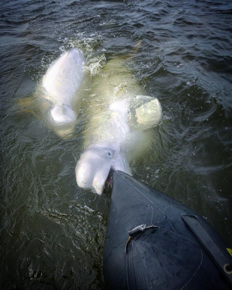 belugas and zodiac in Churchill
