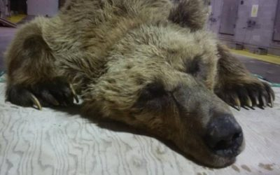 Barren – Ground Grizzly Trapped in Churchill