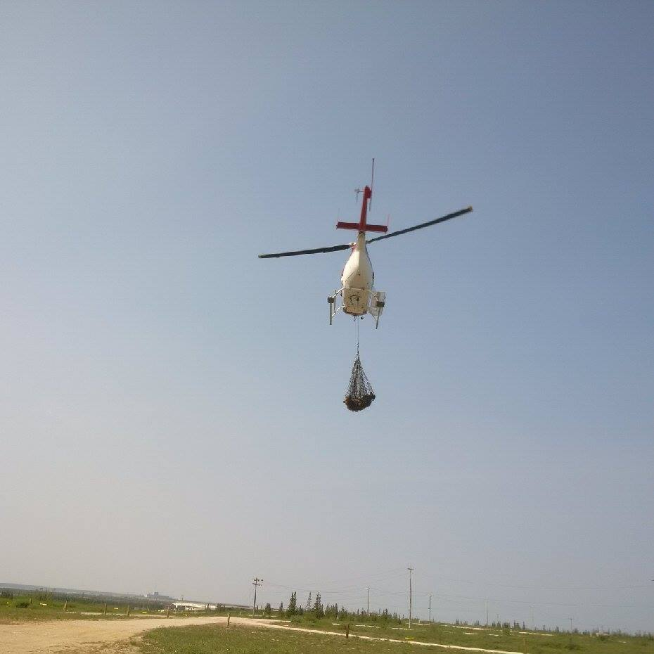 airlift of Barren - ground grizzly in Churchill.