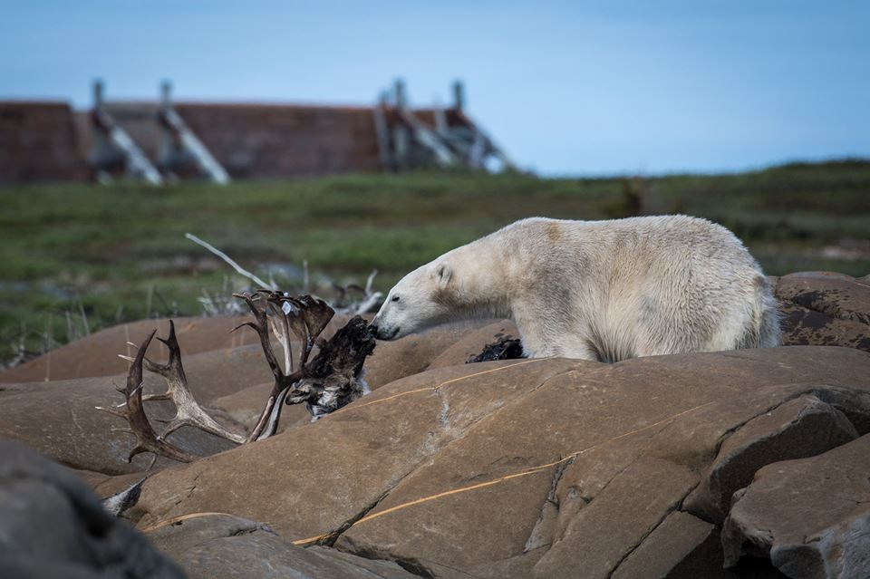 polar ebar and caribou in Churchill, Manitoba
