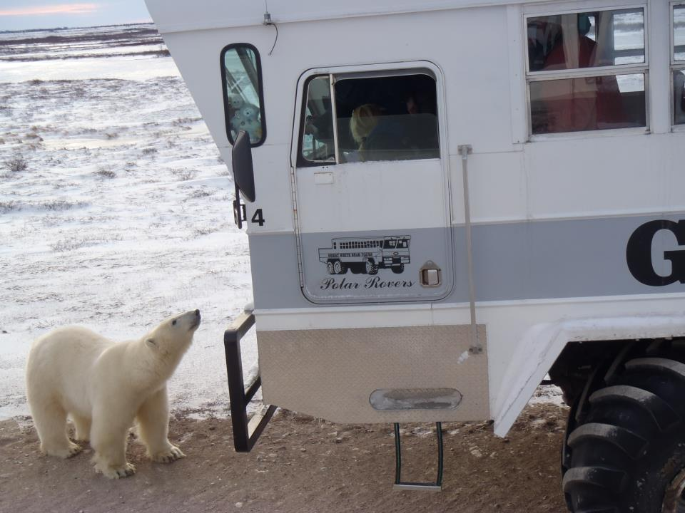 polar bears in Churchill polar rover