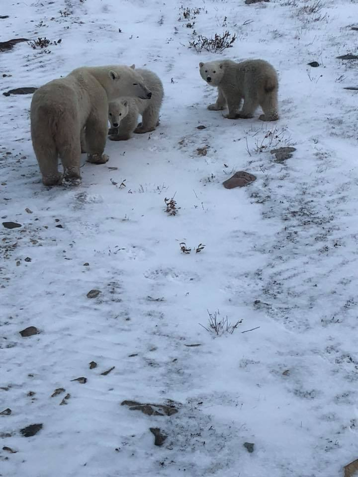 polar bears mother and cubs