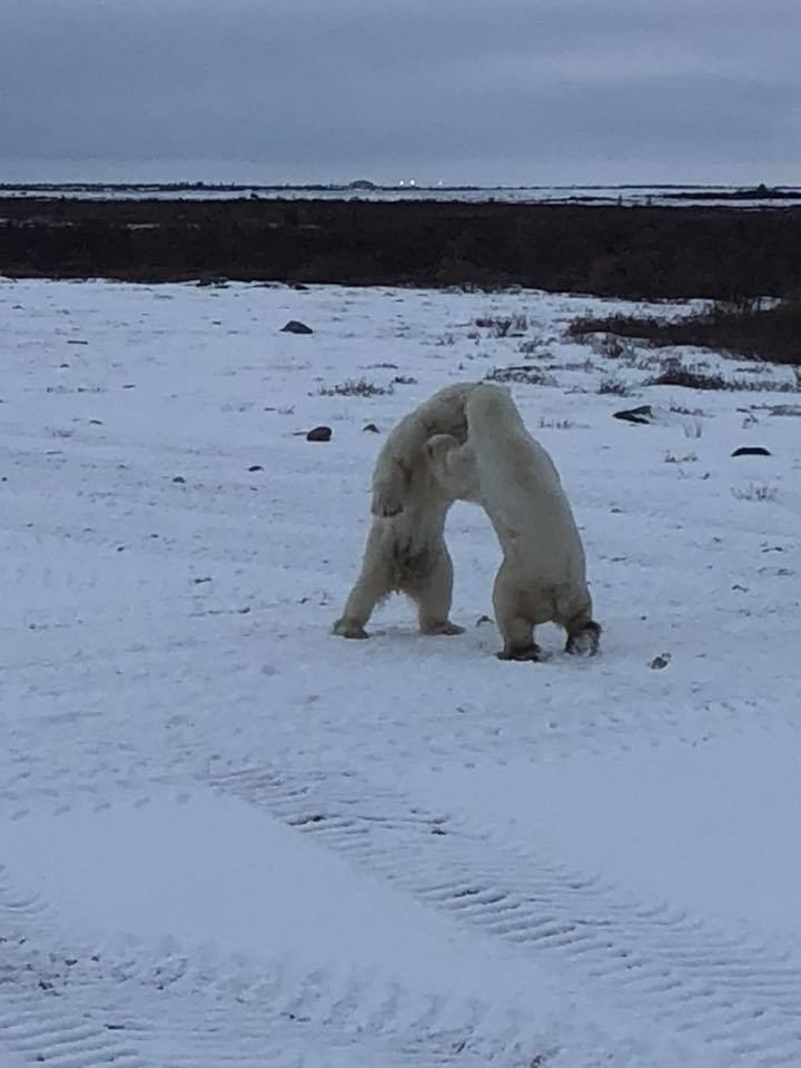 Polar bears sparring Churchill, Manitoba