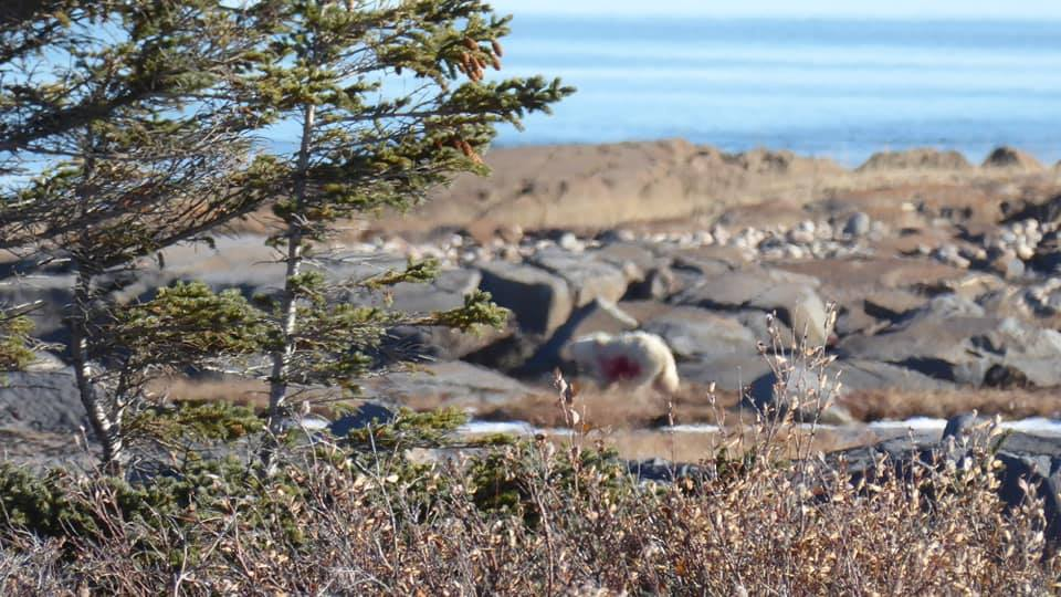 polar bear darted by conservation officers