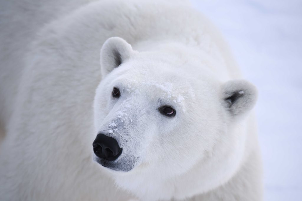 Churchill polar bear