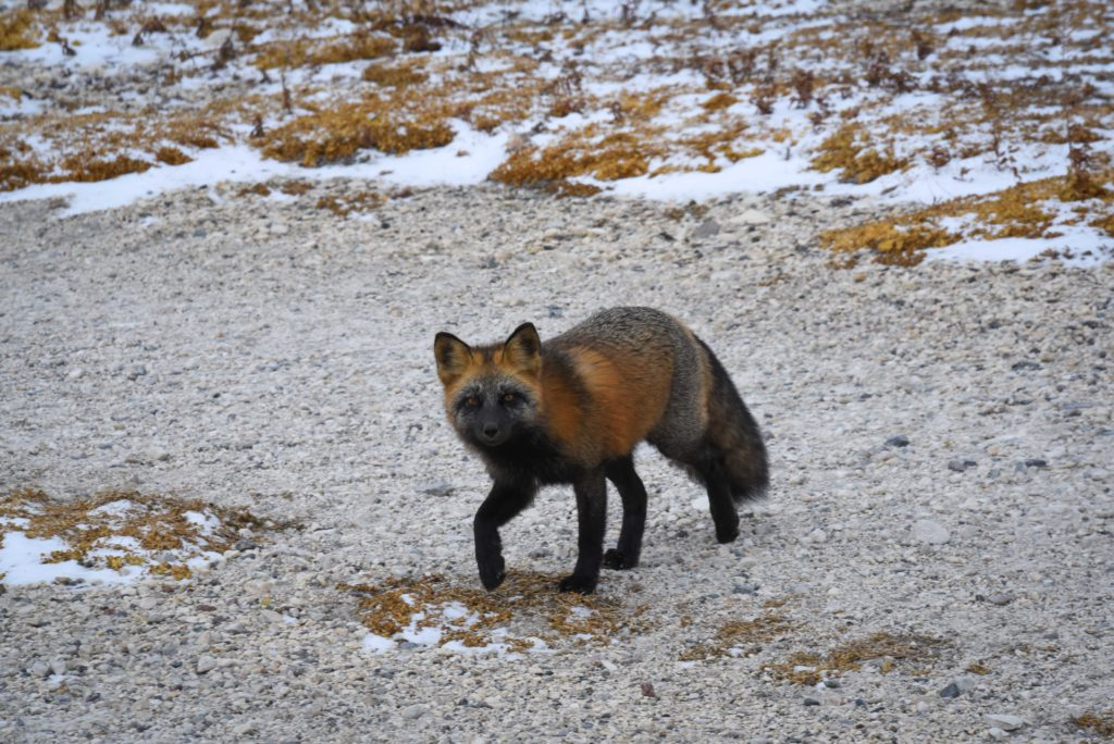Churchill red fox