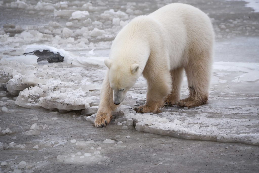 polar bear Hudson Bay Churchill