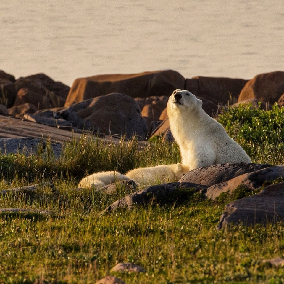 Polar bear family in Churchill.