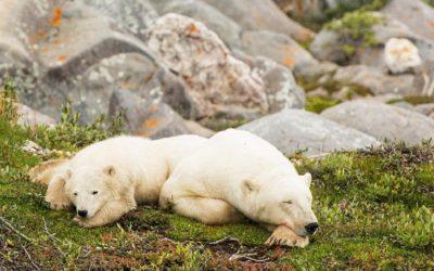 Churchill Summer Bears