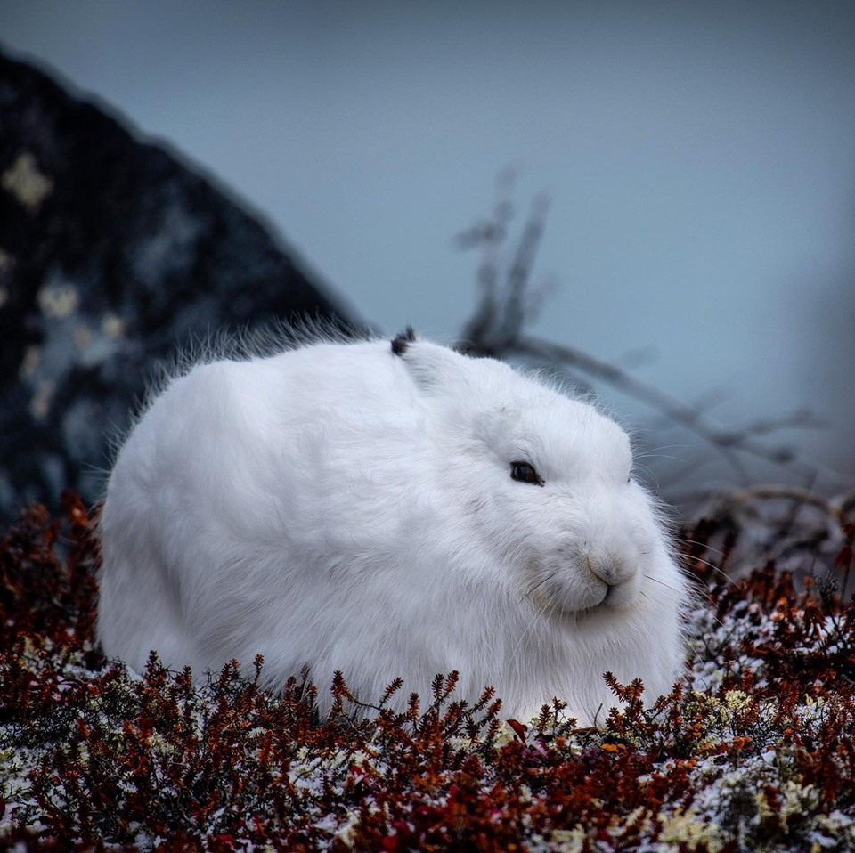 Arctic Hare in Churchill.