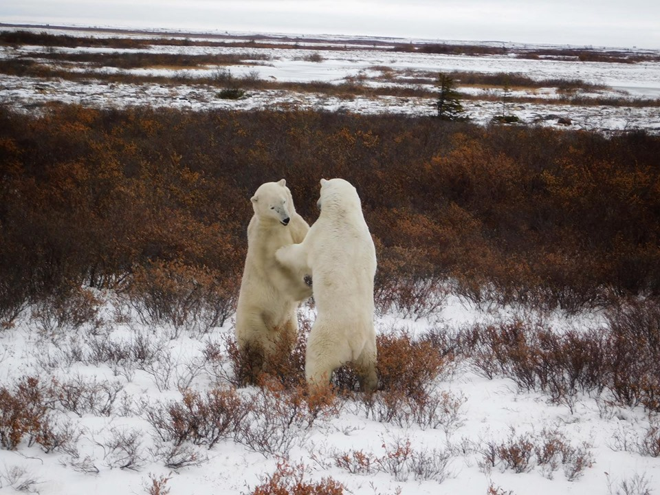 polar bears sparring in Churchill