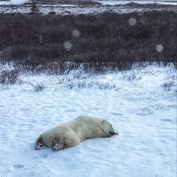polar bear sleeping in Churchill, Manitoba
