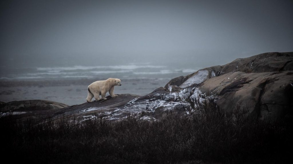 polar bear on the coast in Churchill