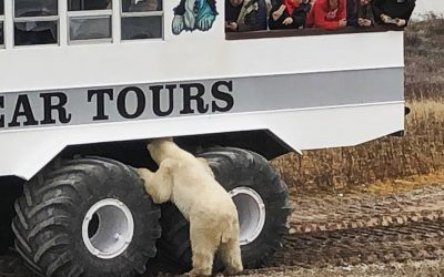 Churchill Polar Bear Season Notes