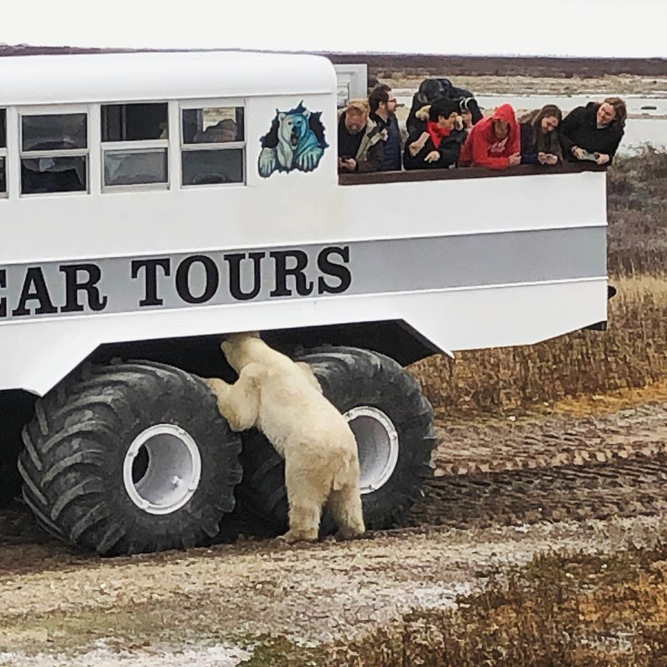 Polar bear and polar rover in Churchill