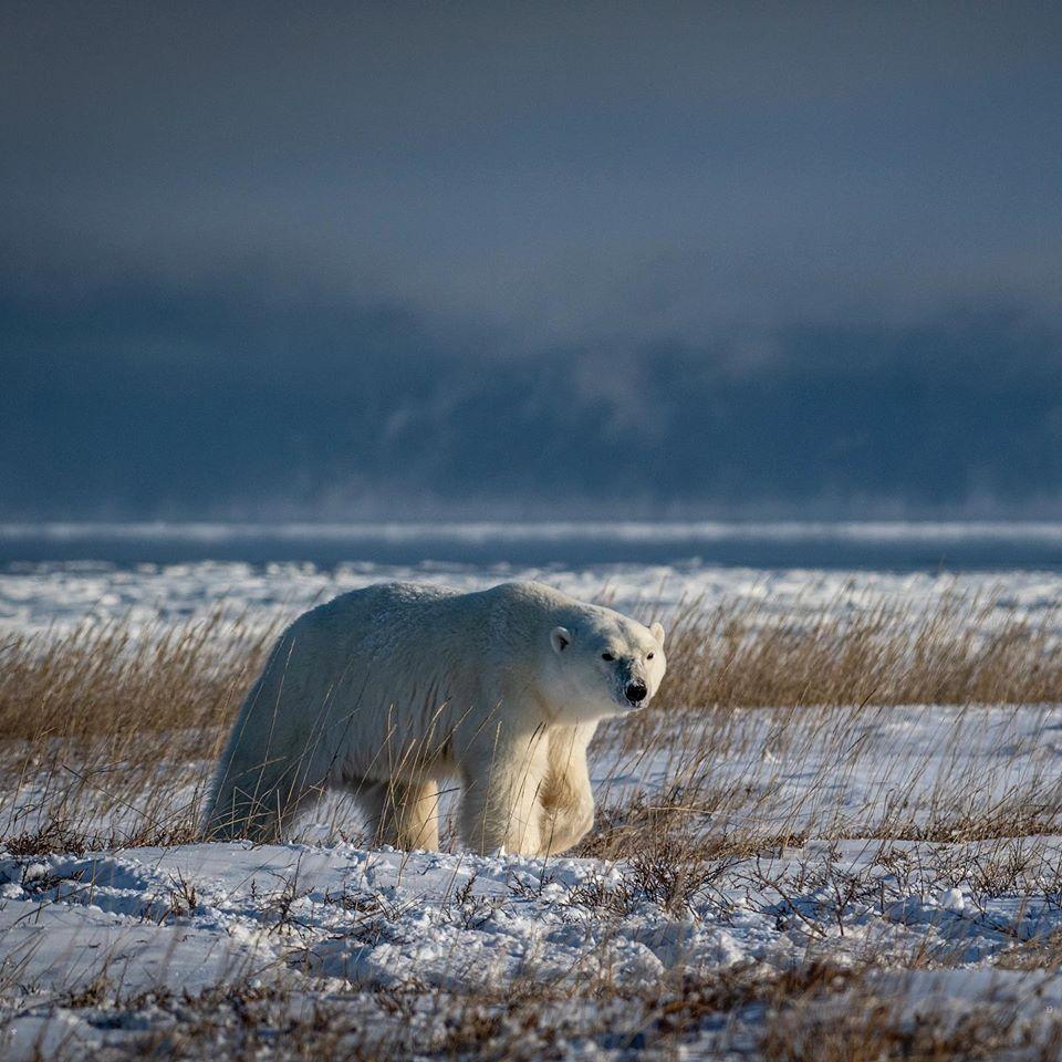 polar bear churchill, Manitoba