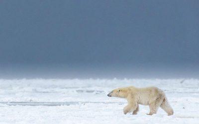 Churchill Polar Bear Reports – Stormy Tundra