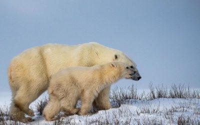 Churchill Polar Bear Report – Ice Bears