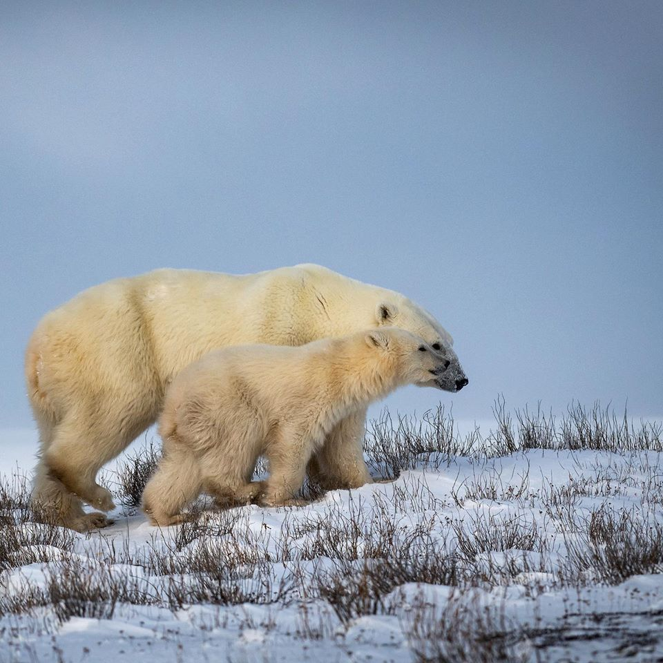 Polar bear sow and cub in Churchill.