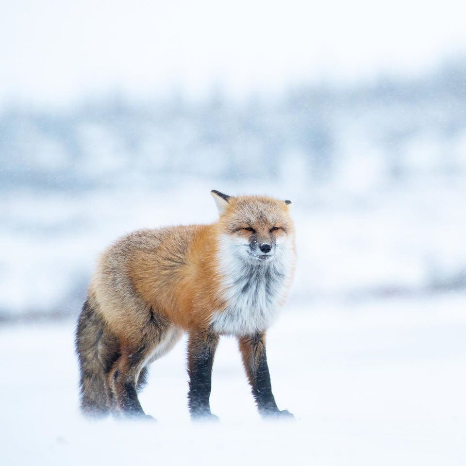 Red fox braves the wind and fog in Churchill