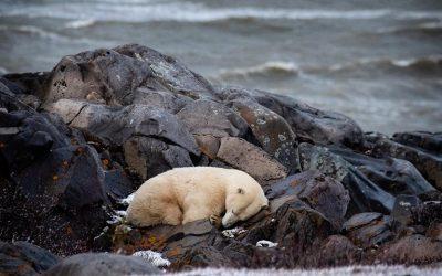 Churchill Polar Bear Report – Winter Looming