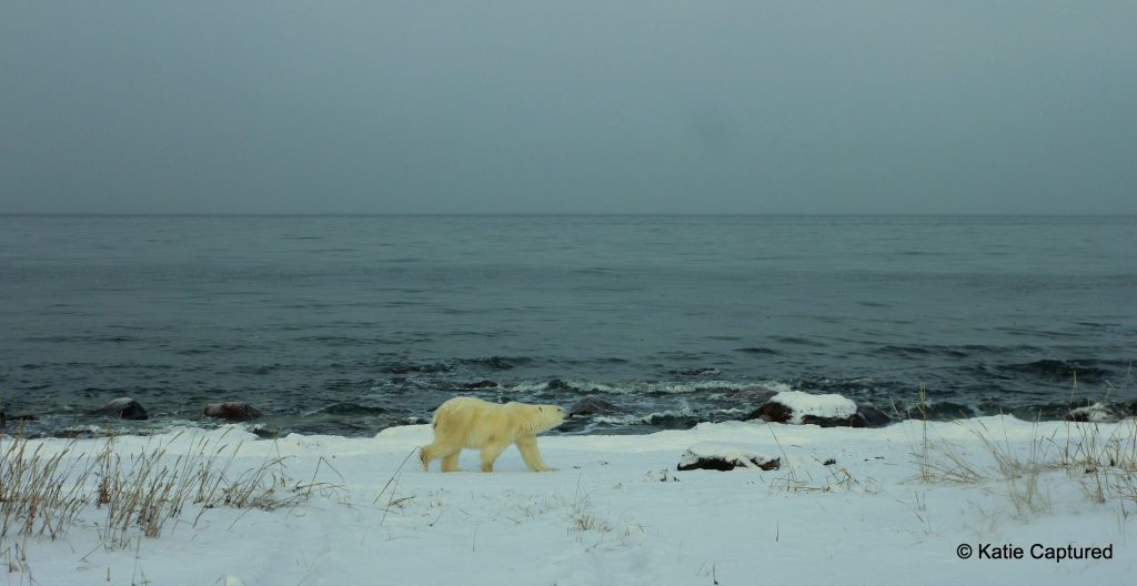 Polar bear near Hudson Bay in Churchill, Manitoba