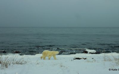 Churchill Polar Bear Report – Wildlife Abounds