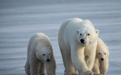 Churchill Polar Bear Report – November Freeze