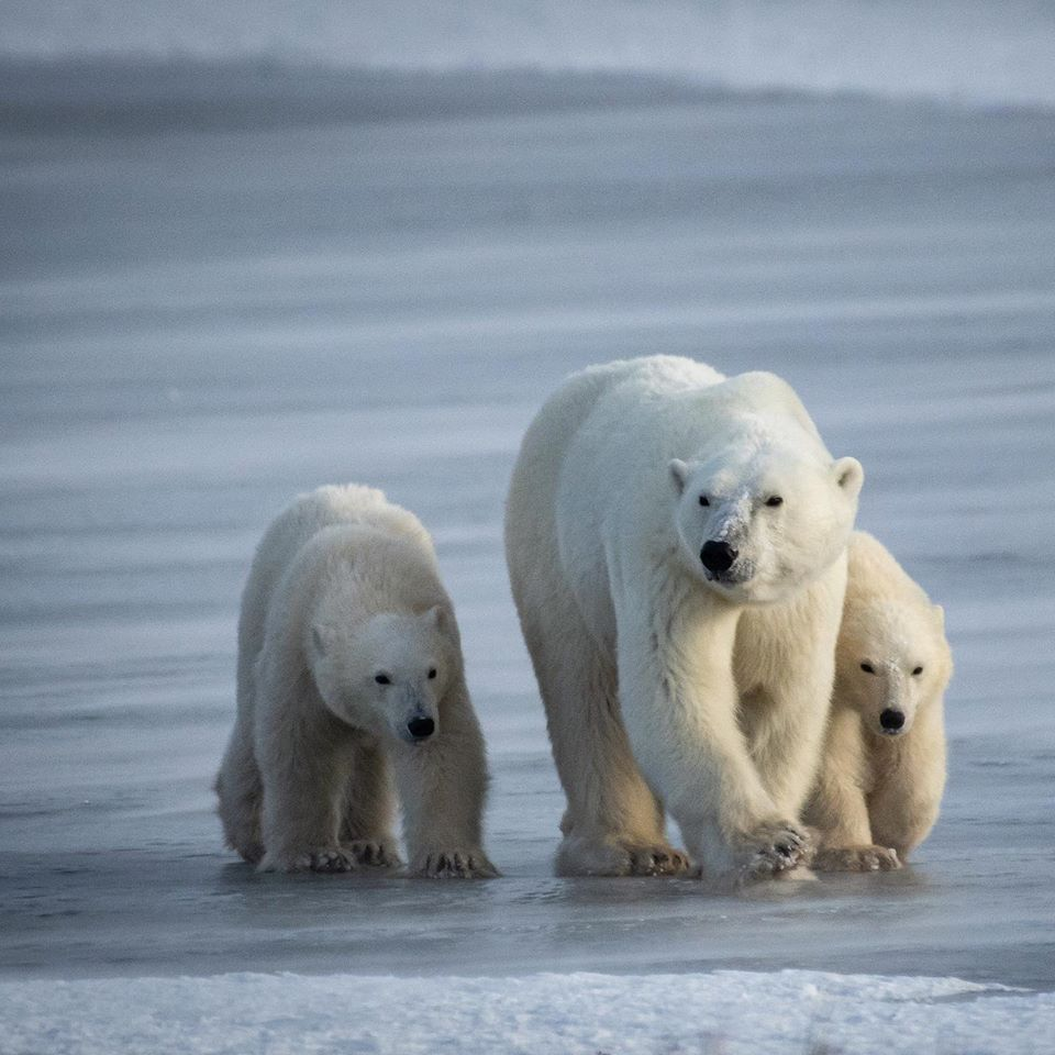 polar bear family in Churchill