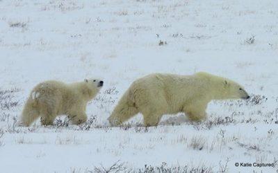 Churchill Polar Bear Report – Bears and Hares