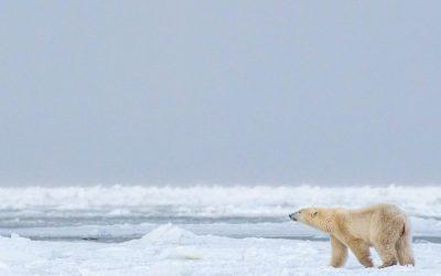 Churchill Polar Bear Warning!