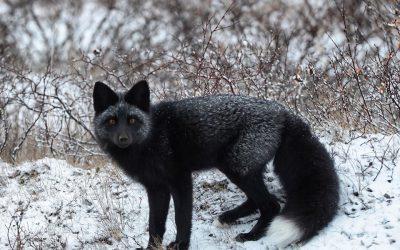 Churchill Weekly Photo – Silver Fox